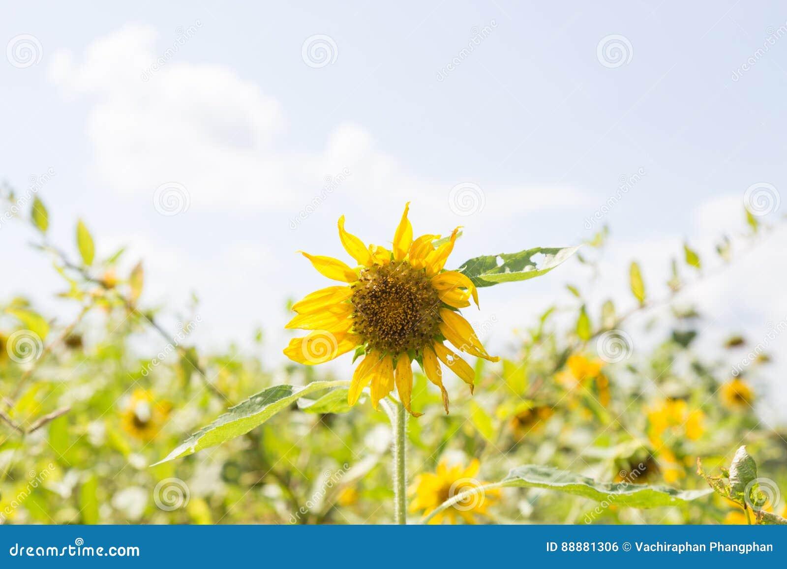 绽放充分的向日葵