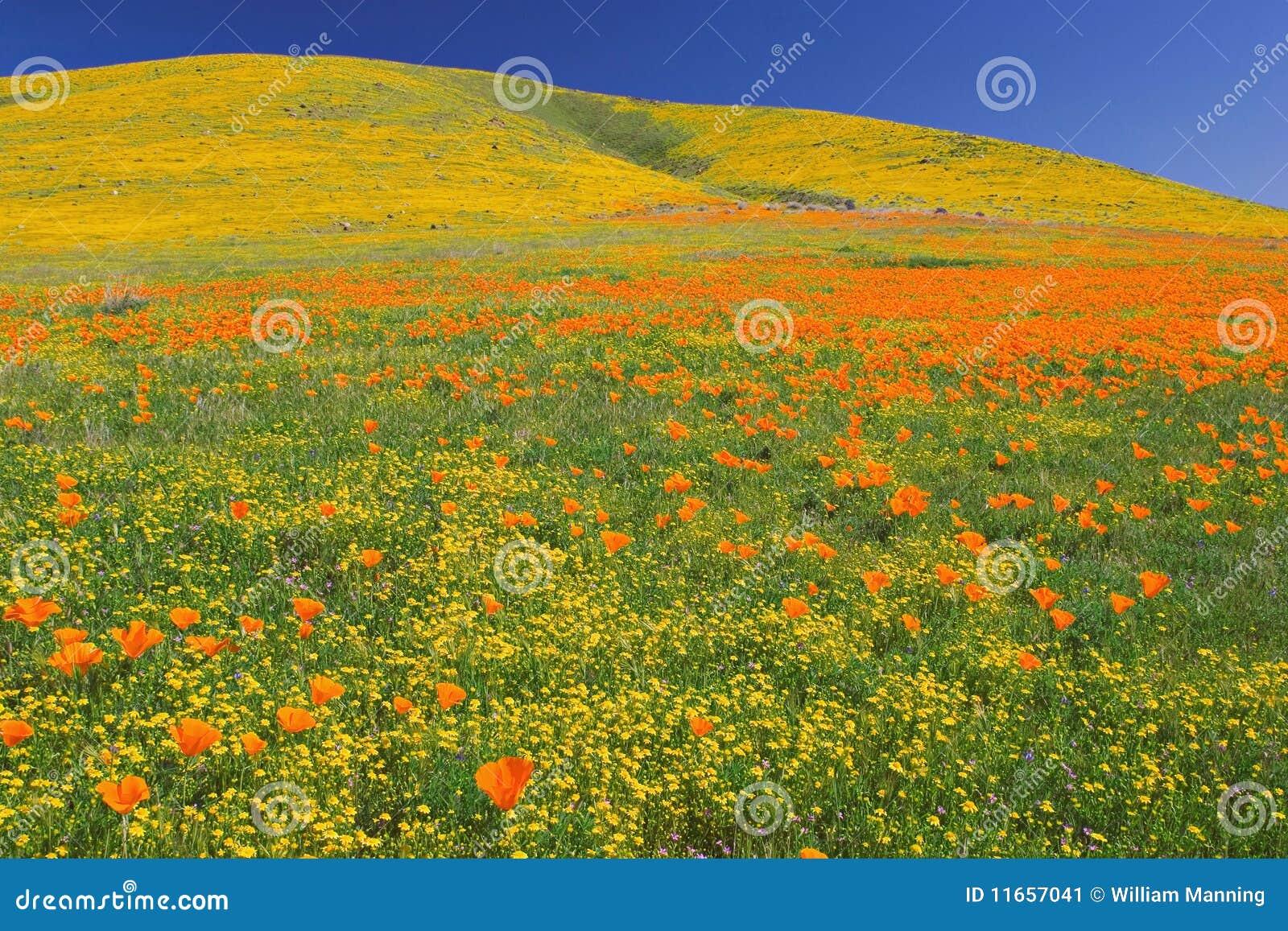 绽放充分的poppys