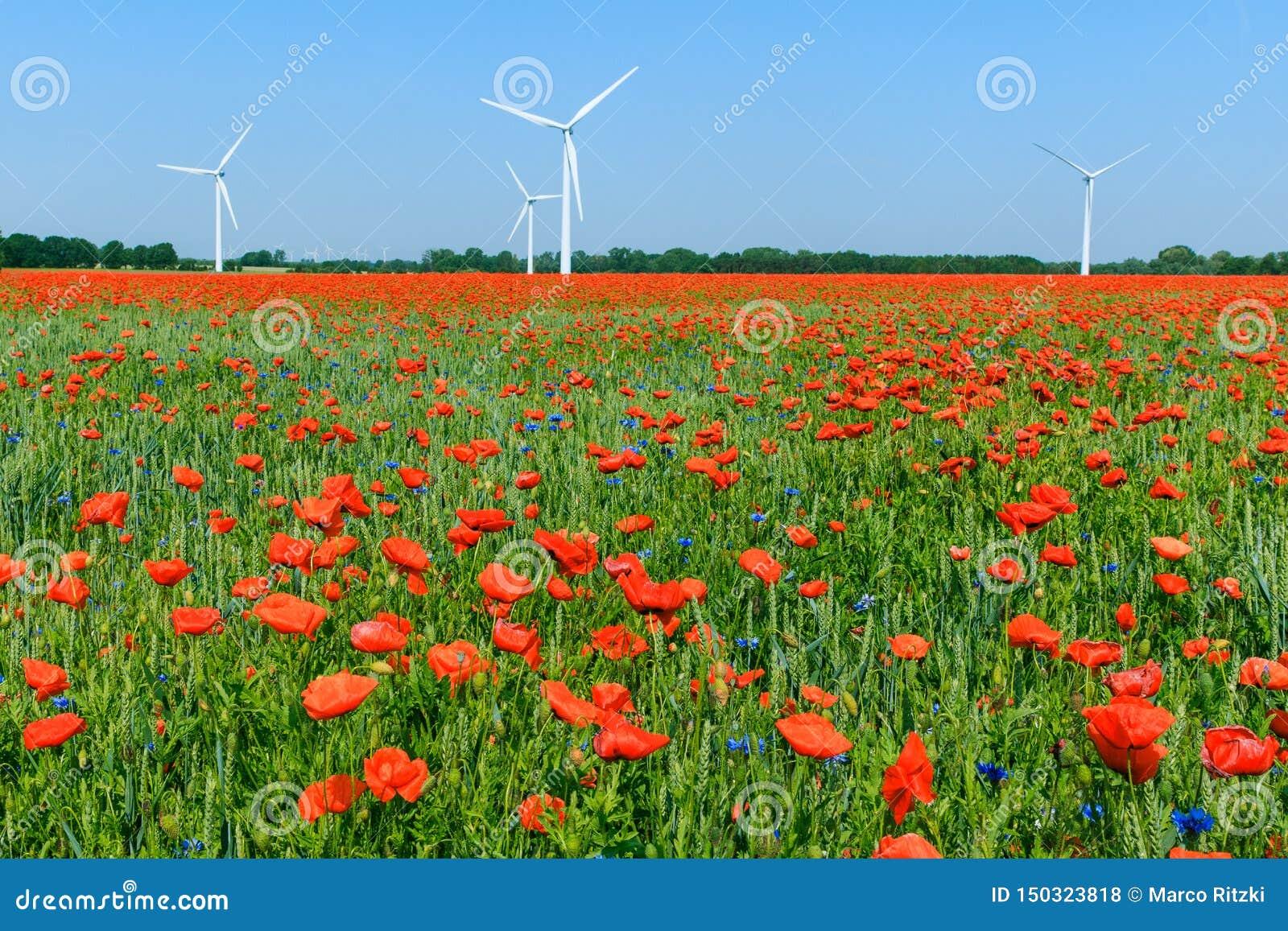 绽放的红色鸦片植物在有天空蔚蓝和风轮机的玉米田