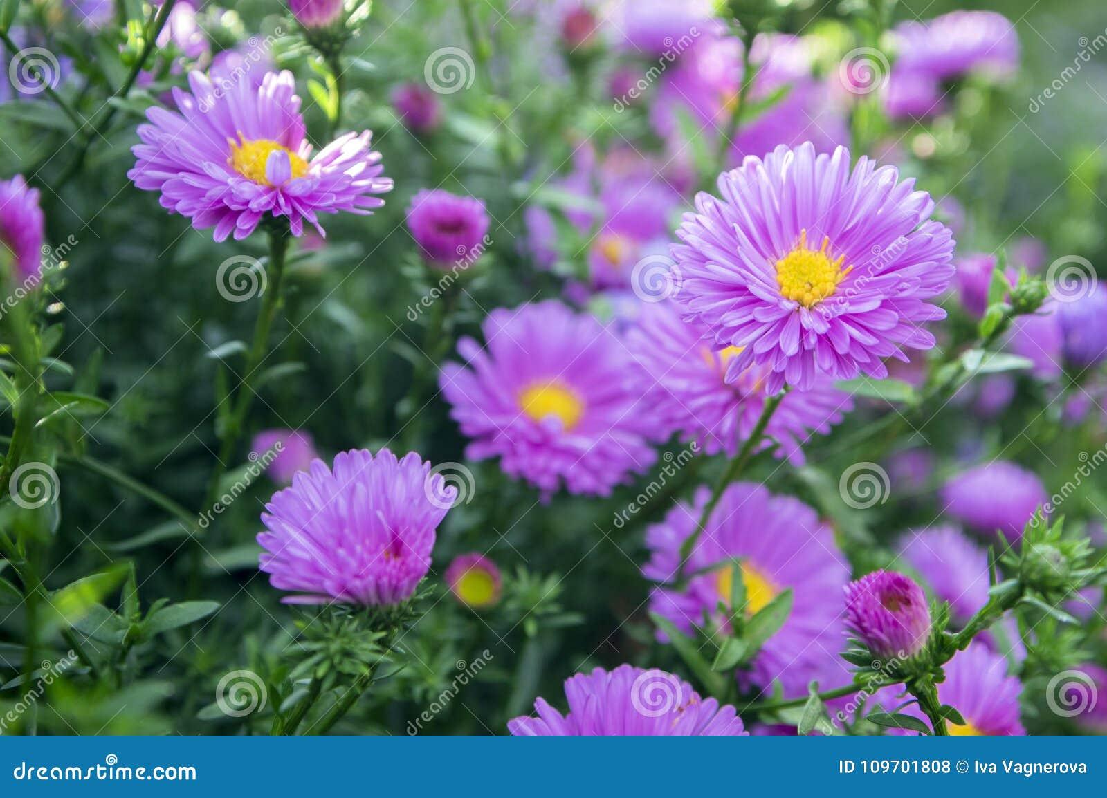 绽放的Symphyotrichum novi-belgii纽约翠菊装饰秋天植物