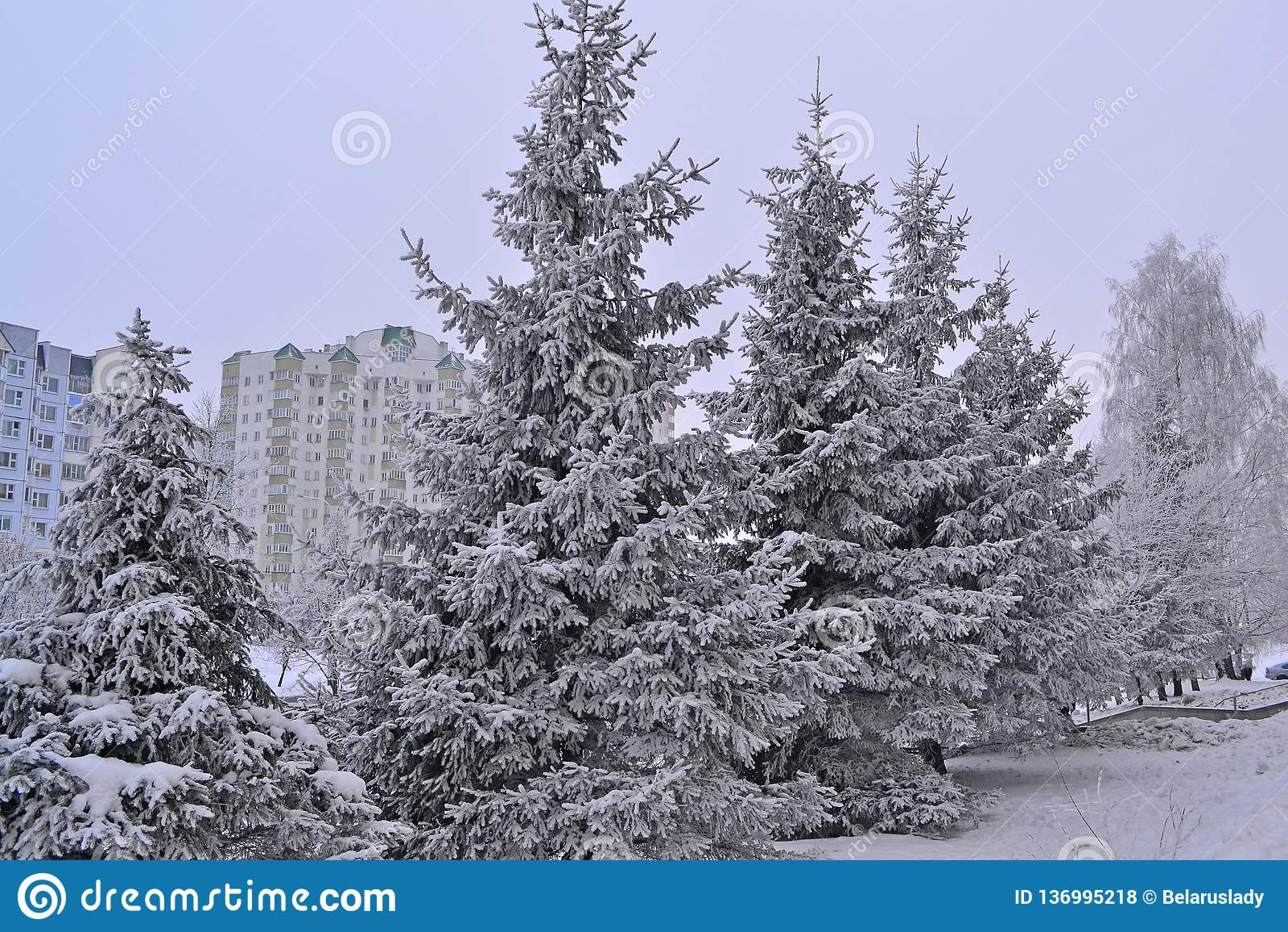 绿色云杉在冷淡的镇 国家(地区)横向 结霜早晨明信片被反射的霜河光亮的雪星期日晴朗的结构树冬天 冷的冬天天气 背景贝加尔湖湖杉树