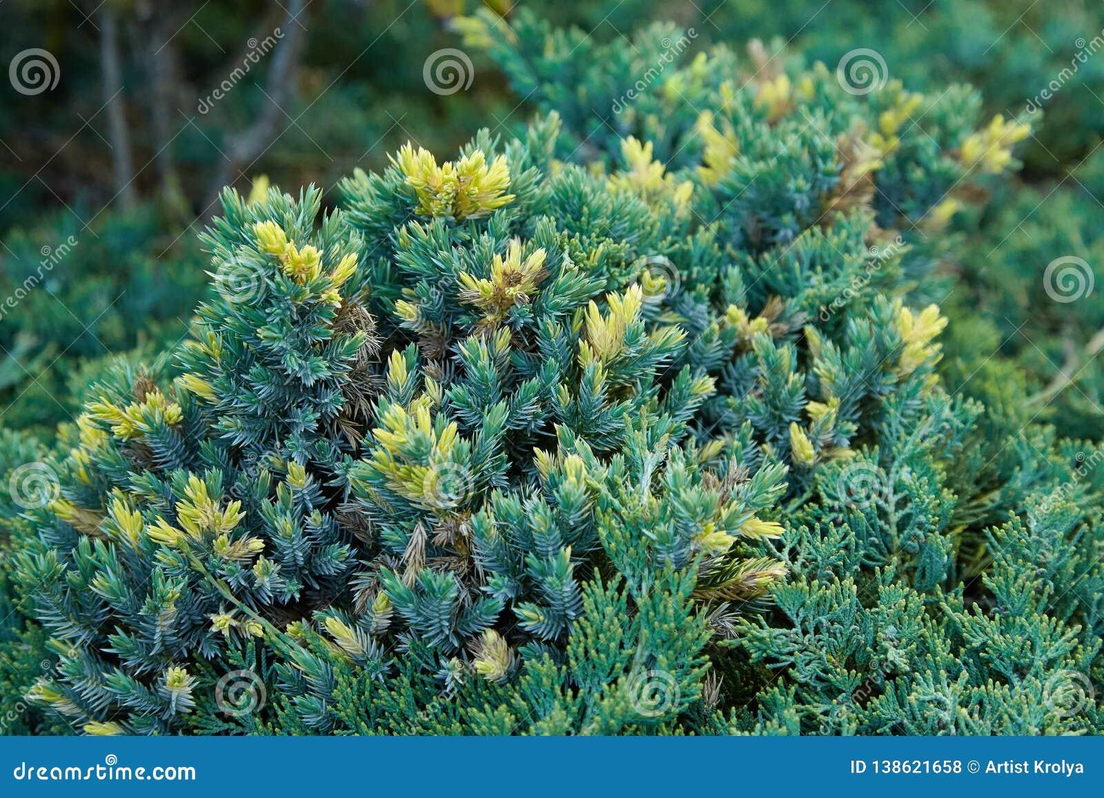 绿色云杉groving在户外庭院里