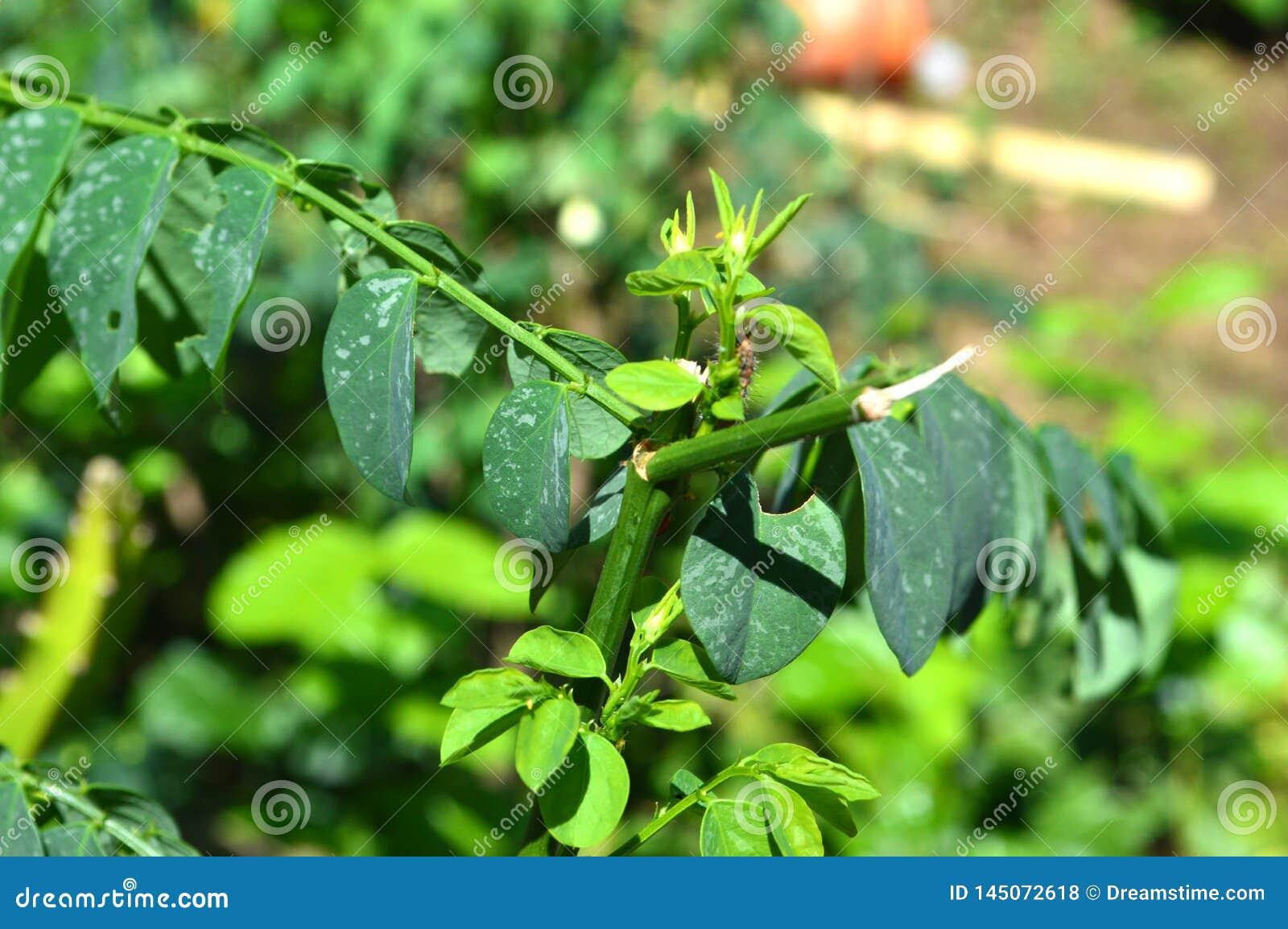 绿色叶子纹理和照片在热带气候的