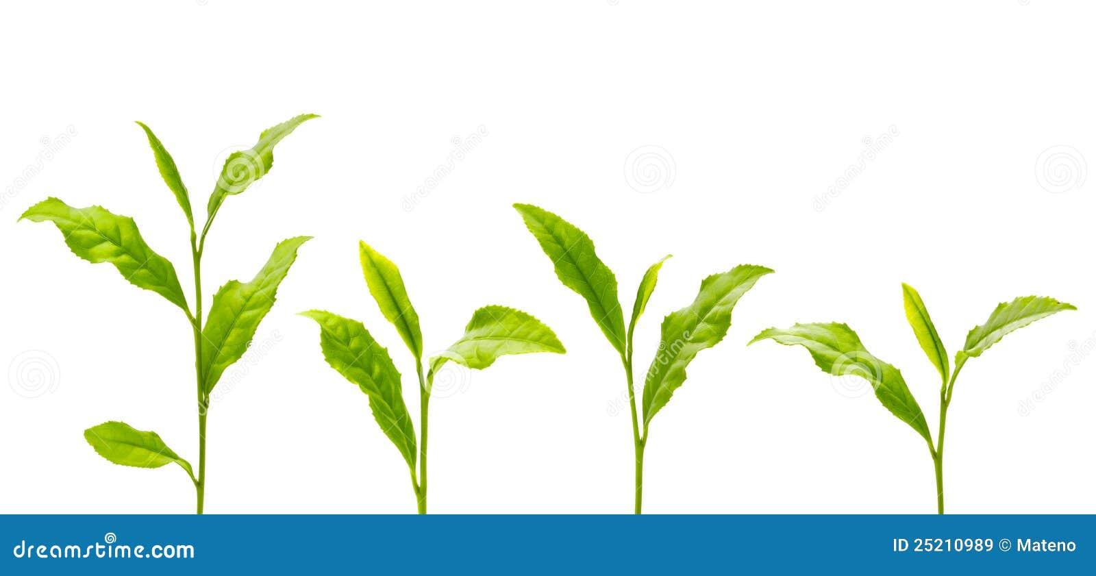 绿色叶子茶