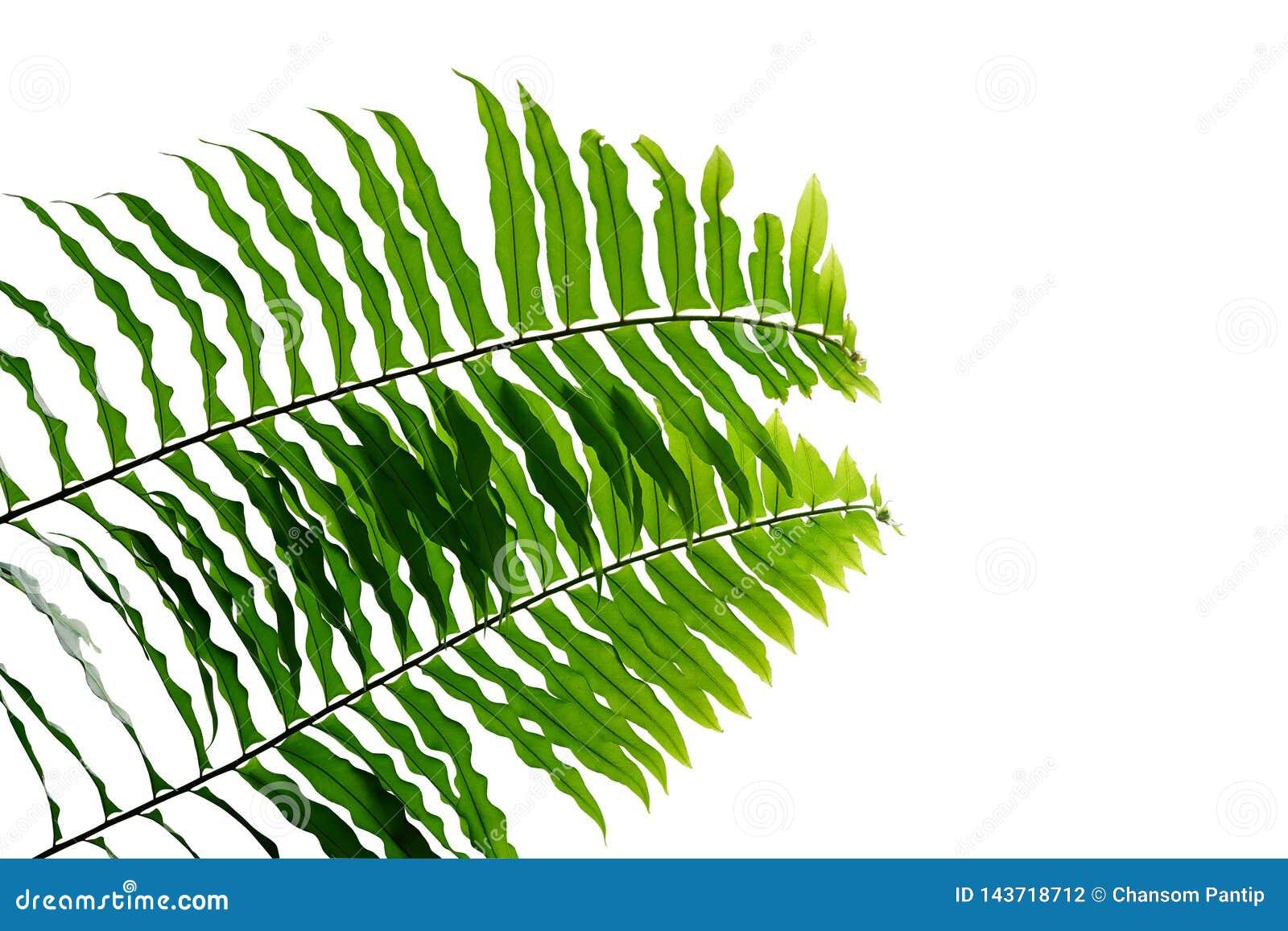 绿色在白色背景隔绝的叶子蕨热带雨林叶子植物自然叶子样式,裁减路线包括