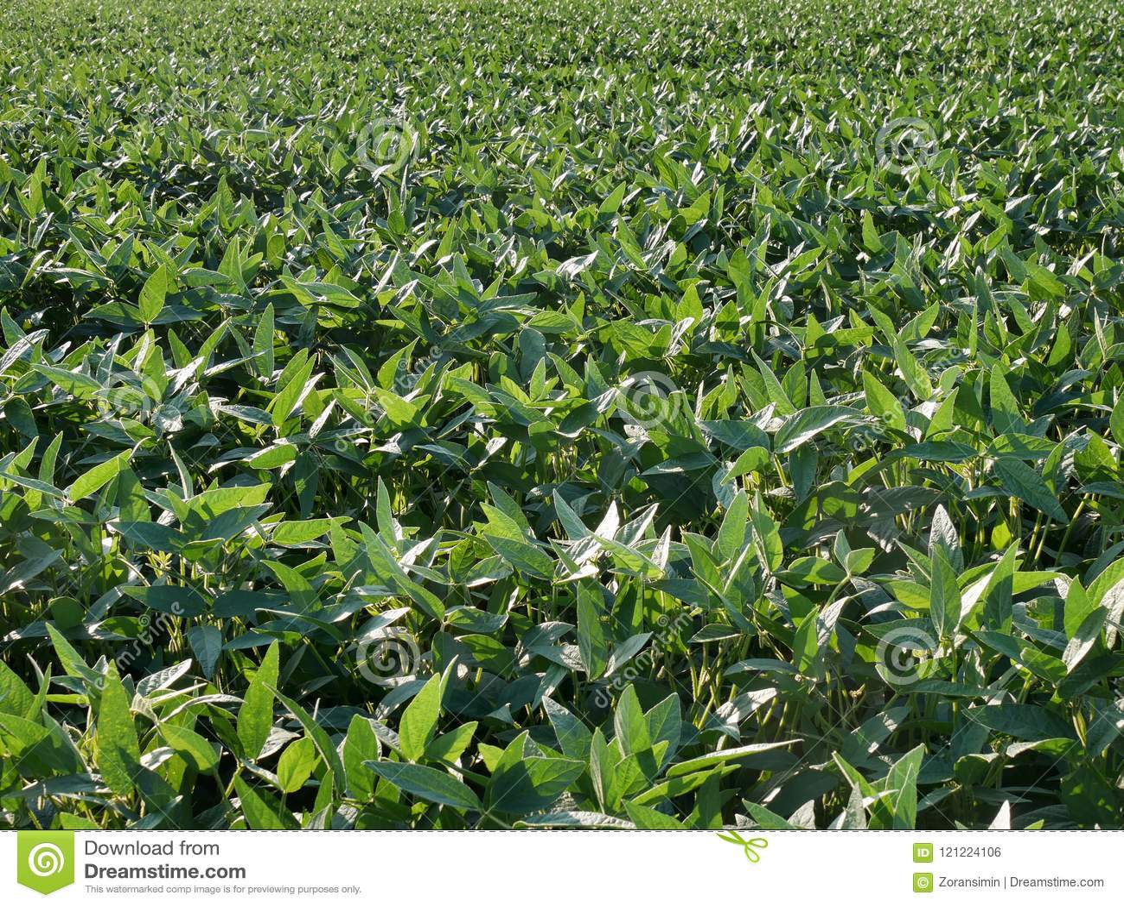绿色培养的大豆领域晚春