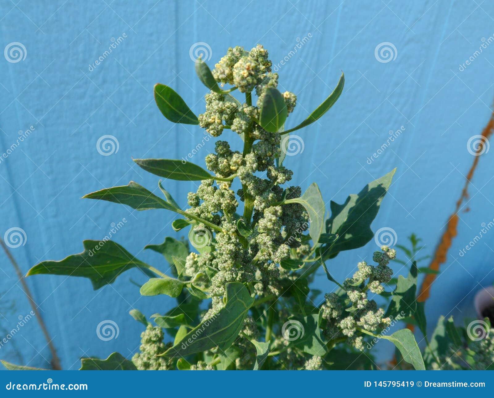绿色奎奴亚藜在8月增长