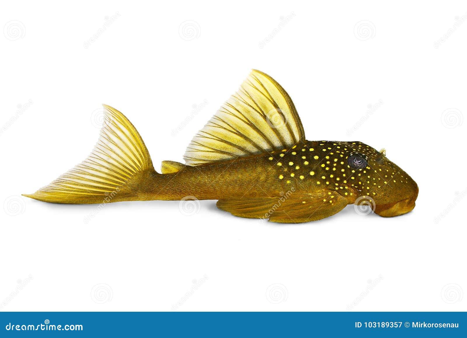 绿色幽灵pleco L200 Hemiancistrus subviridis水族馆鱼