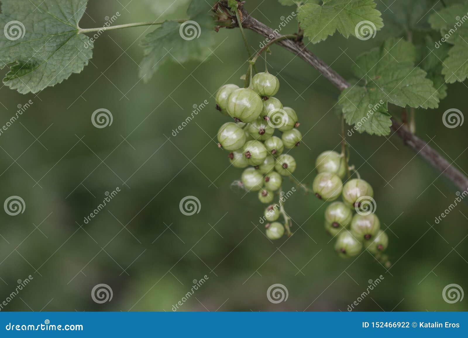 绿色无核小葡萄干