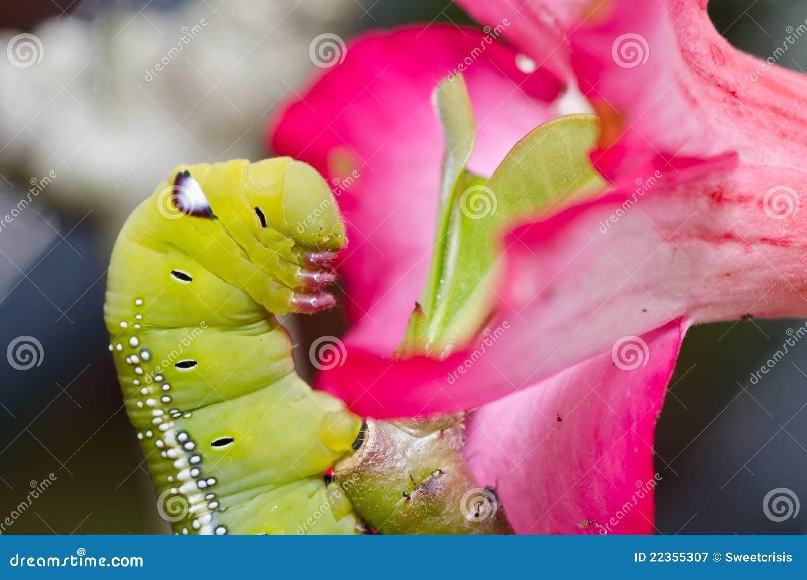 绿色本质蠕虫