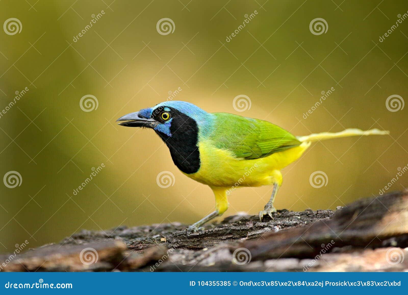 绿色杰伊, Cyanocorax yncas,狂放的自然,伯利兹 从中央Anemerica的美丽的鸟 鸟的监视人在伯利兹 杰伊坐Th