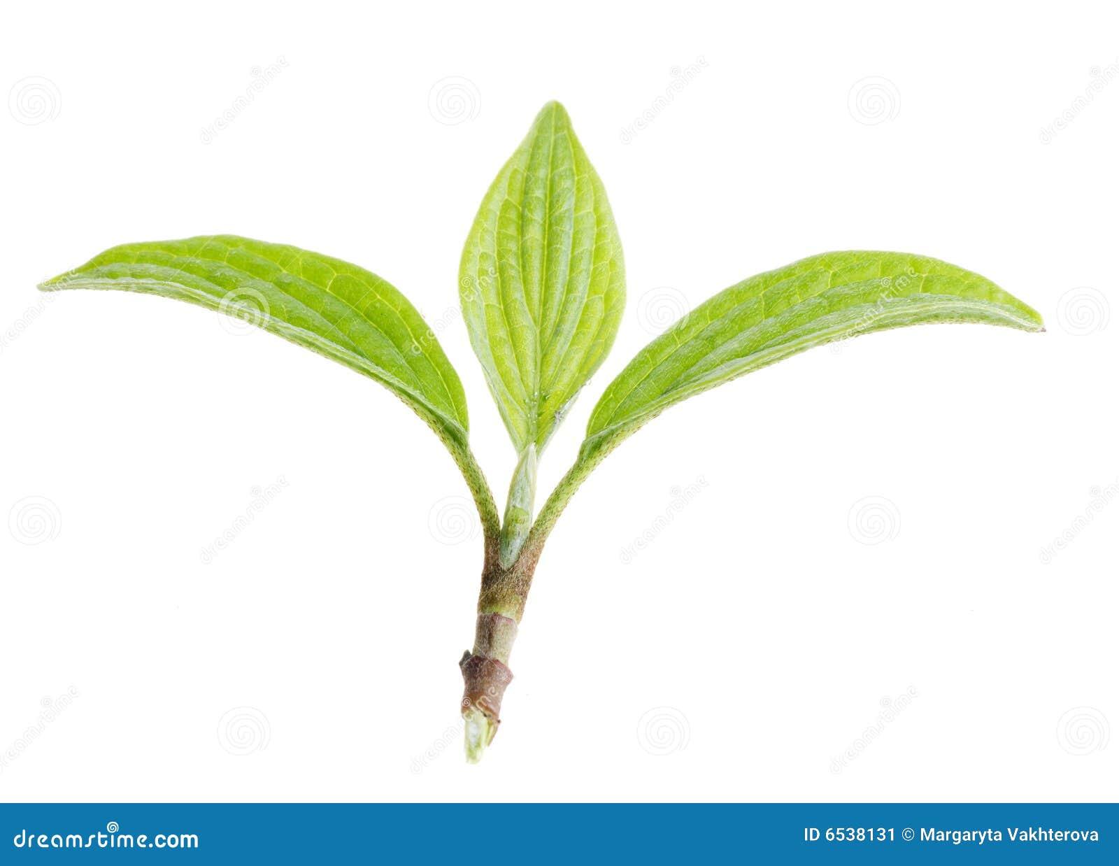 绿色查出的叶子本质