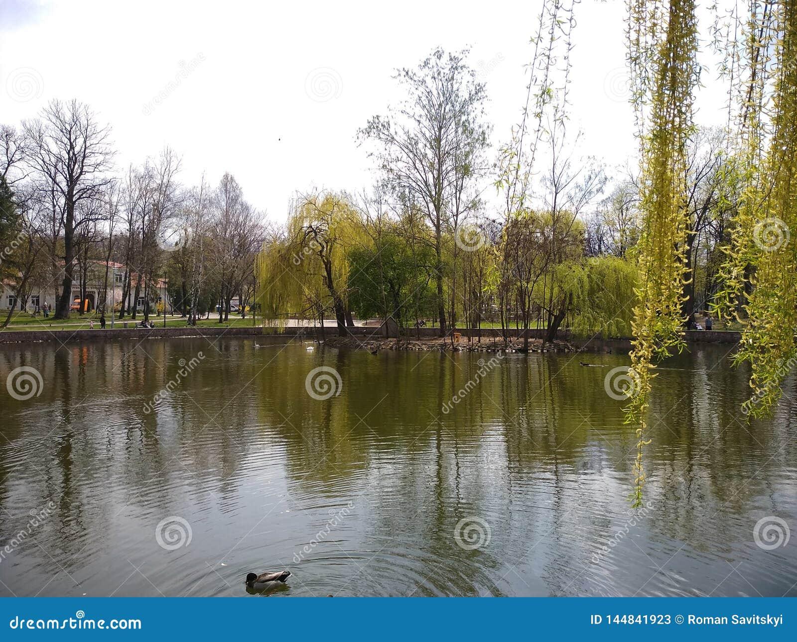 绿色树和天空蔚蓝在城市公园 伊云奴Frankivsk,乌克兰 r