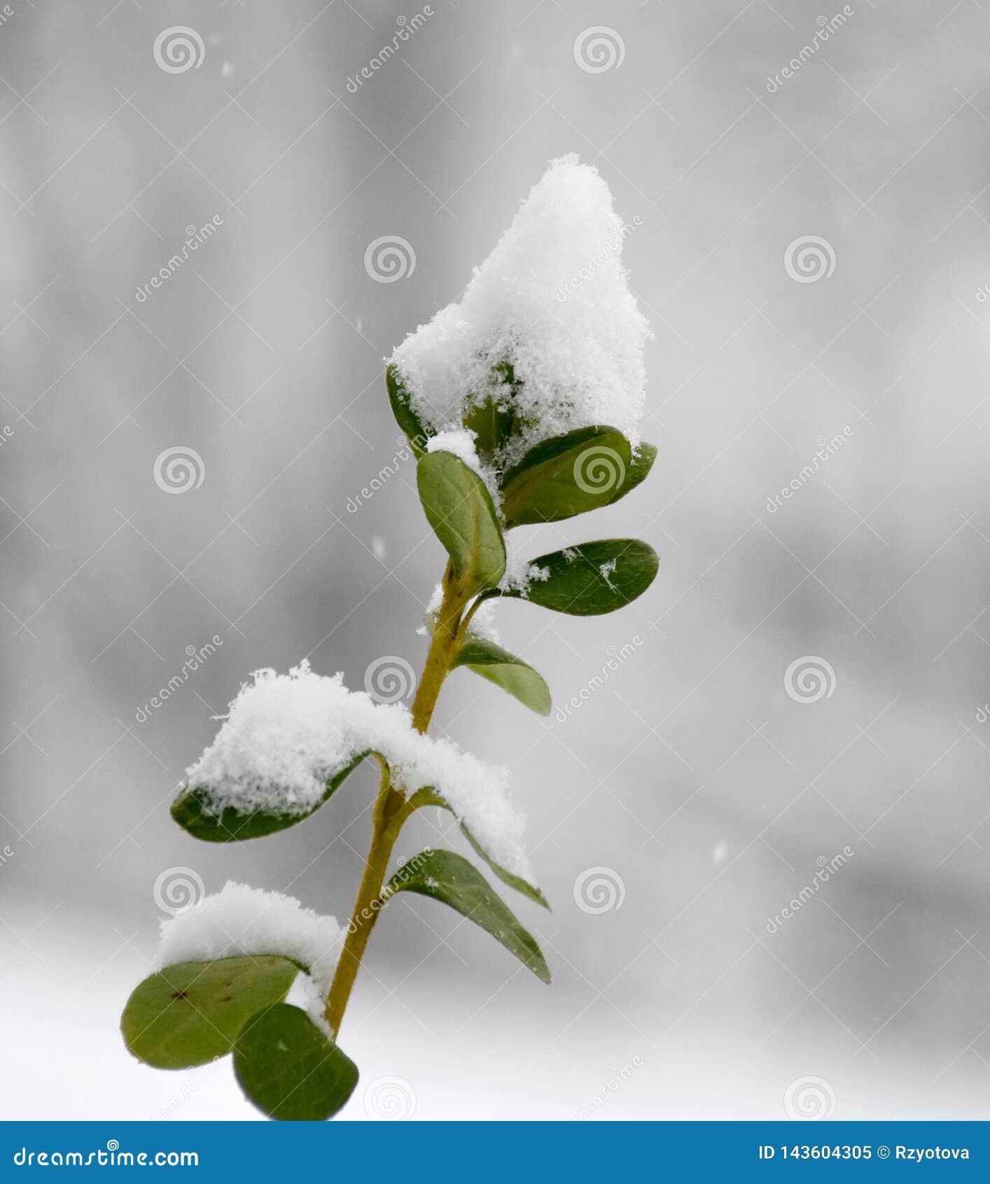 绿色植物雪