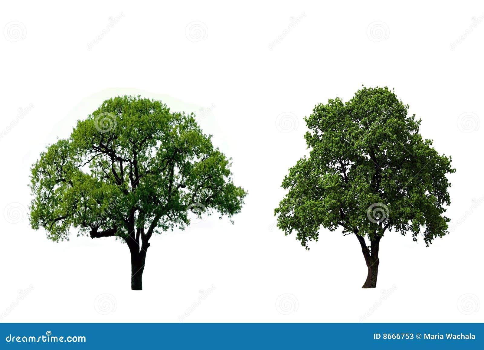 绿色橡树二