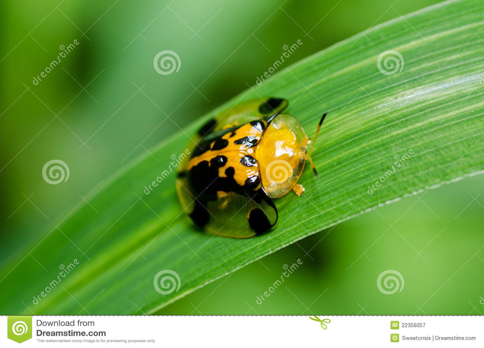 绿色瓢虫本质