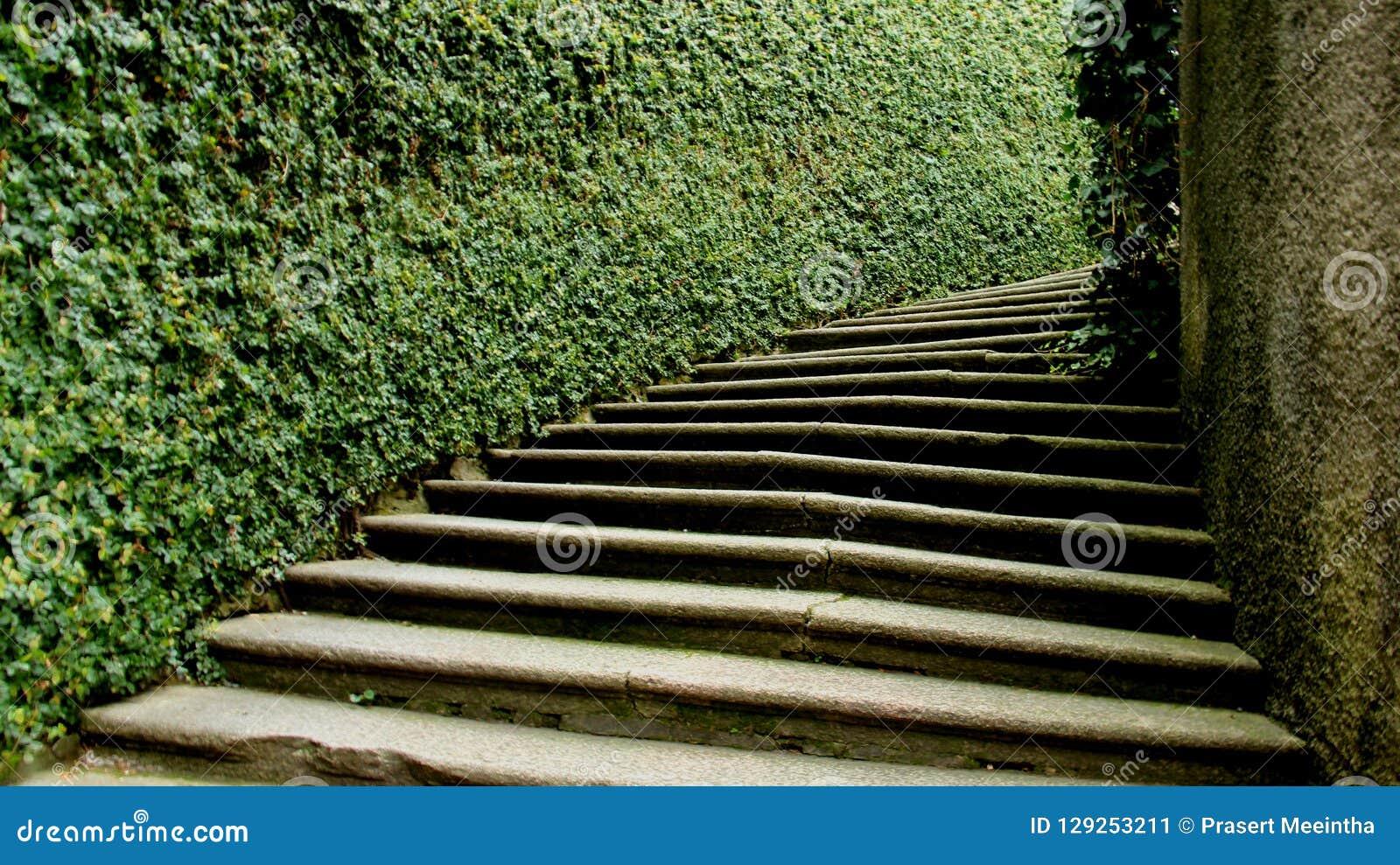 绿色篱芭和步