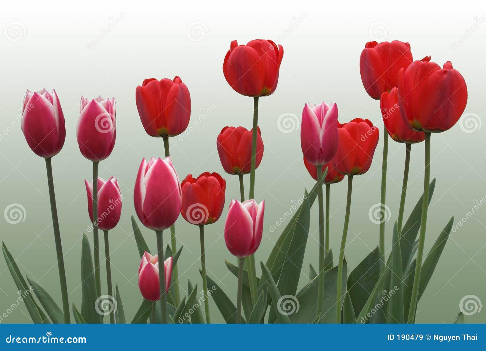 绿色红色郁金香