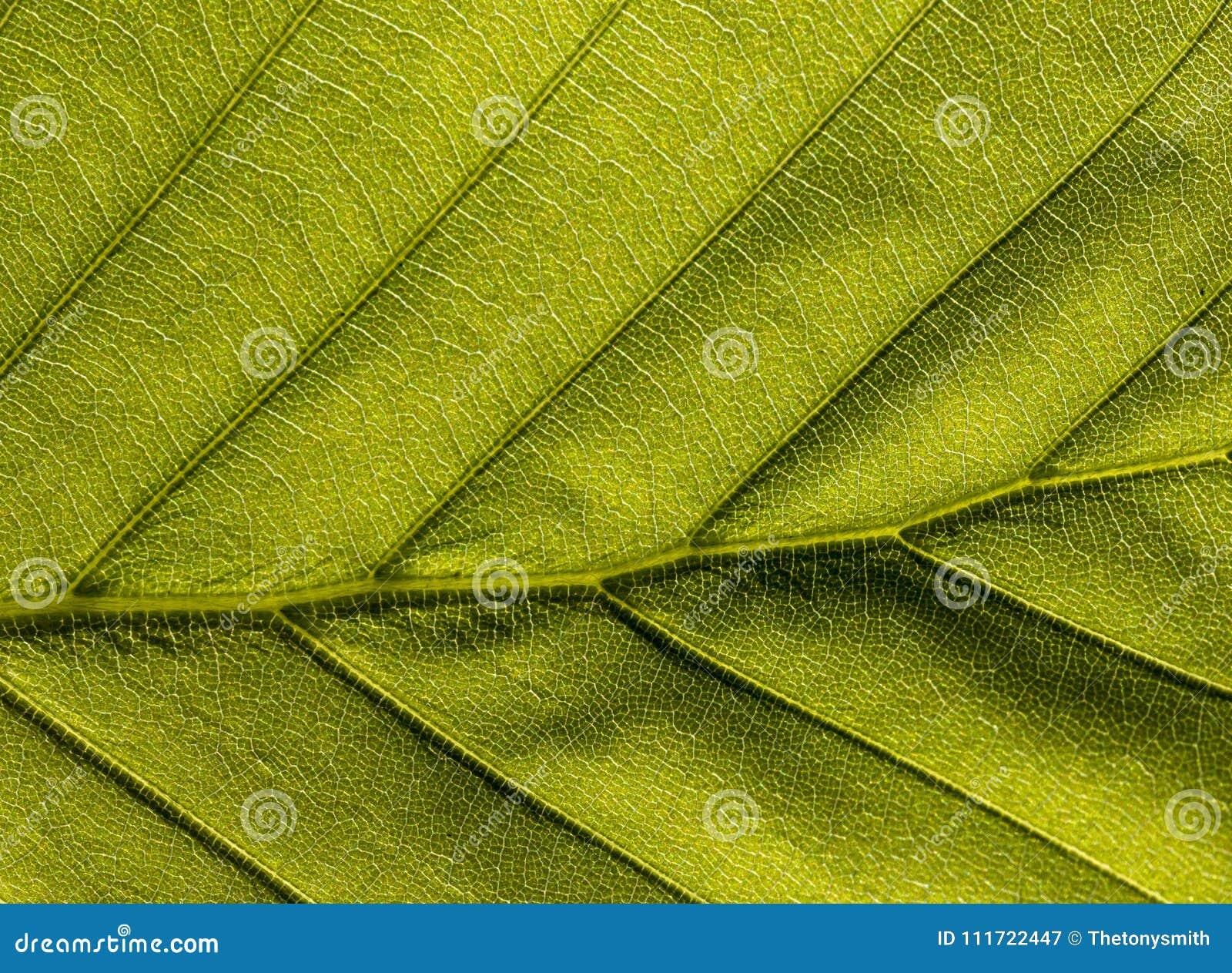绿色纹理状的叶子