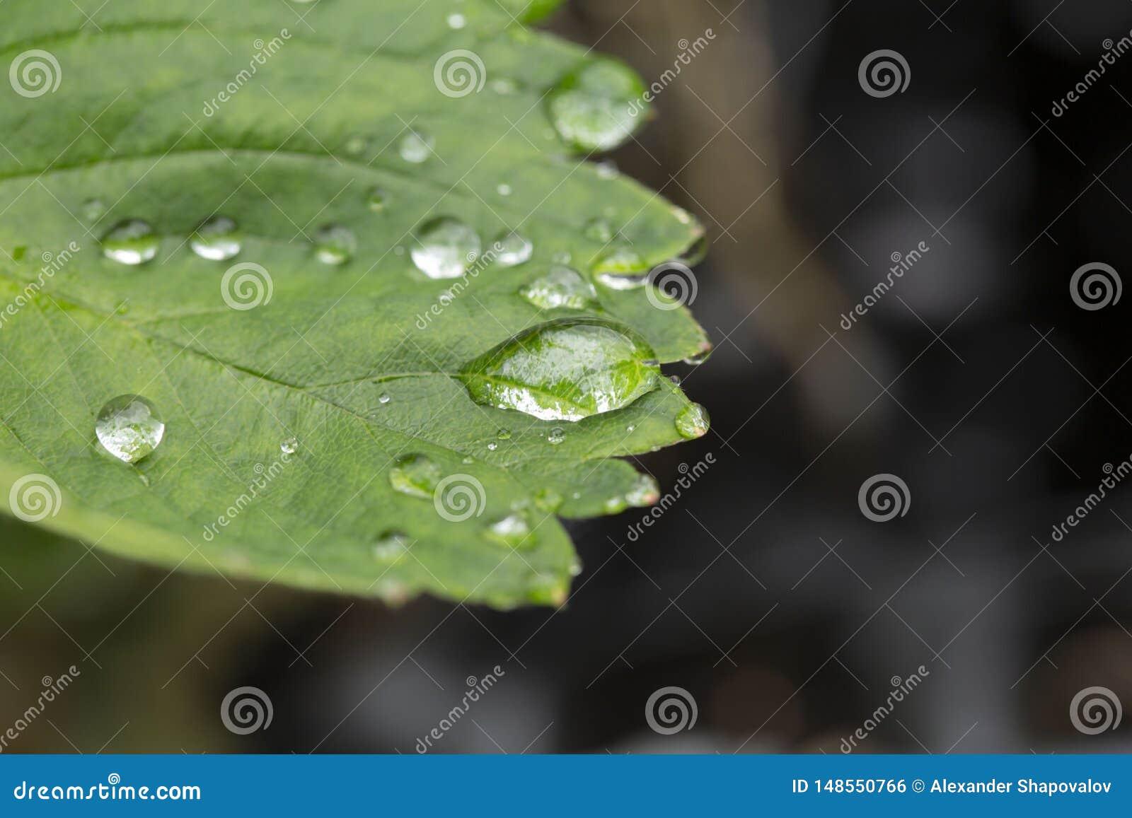 绿色草莓叶子宏观看法的华美的关闭有雨珠的 美好的绿色natutre背景