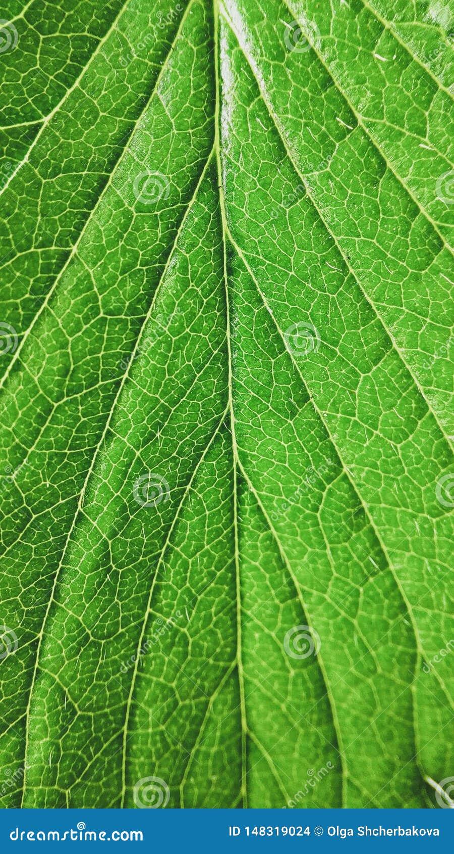 绿色草莓在白色背景留下特写镜头 宏观静脉