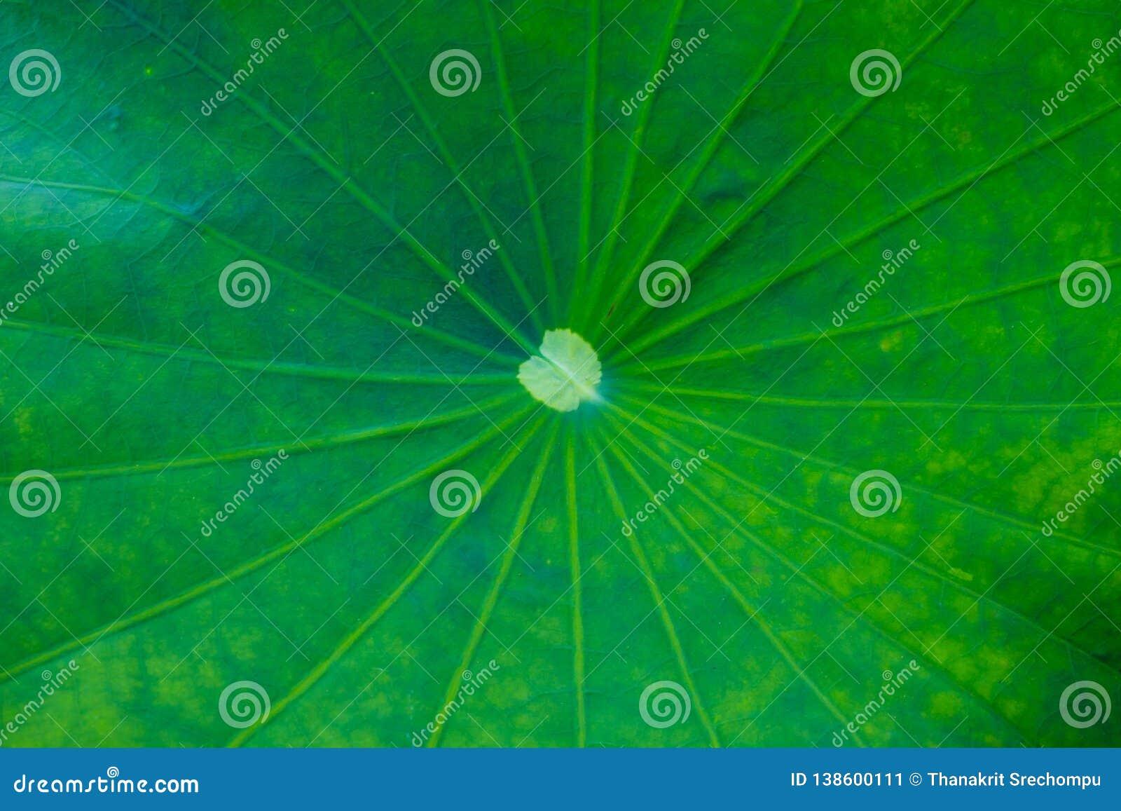 绿色莲花叶子背景