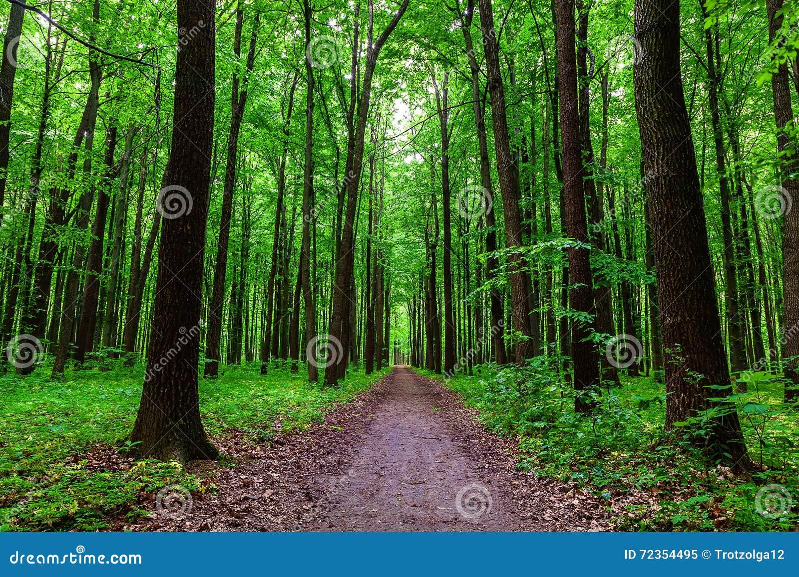 绿色落叶林在一个晴天