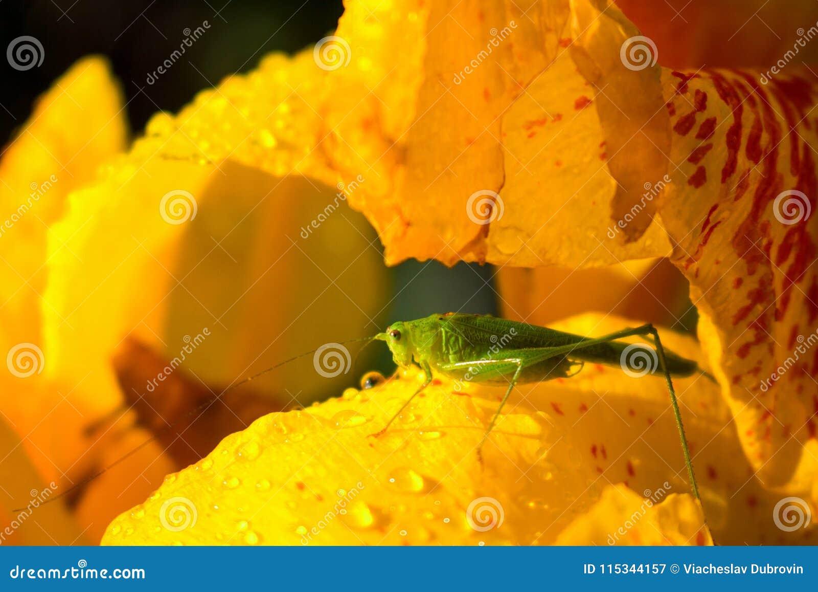 绿色蚂蚱和黄色花 小蚂蚱坐黄色百合在晴朗的庭院里
