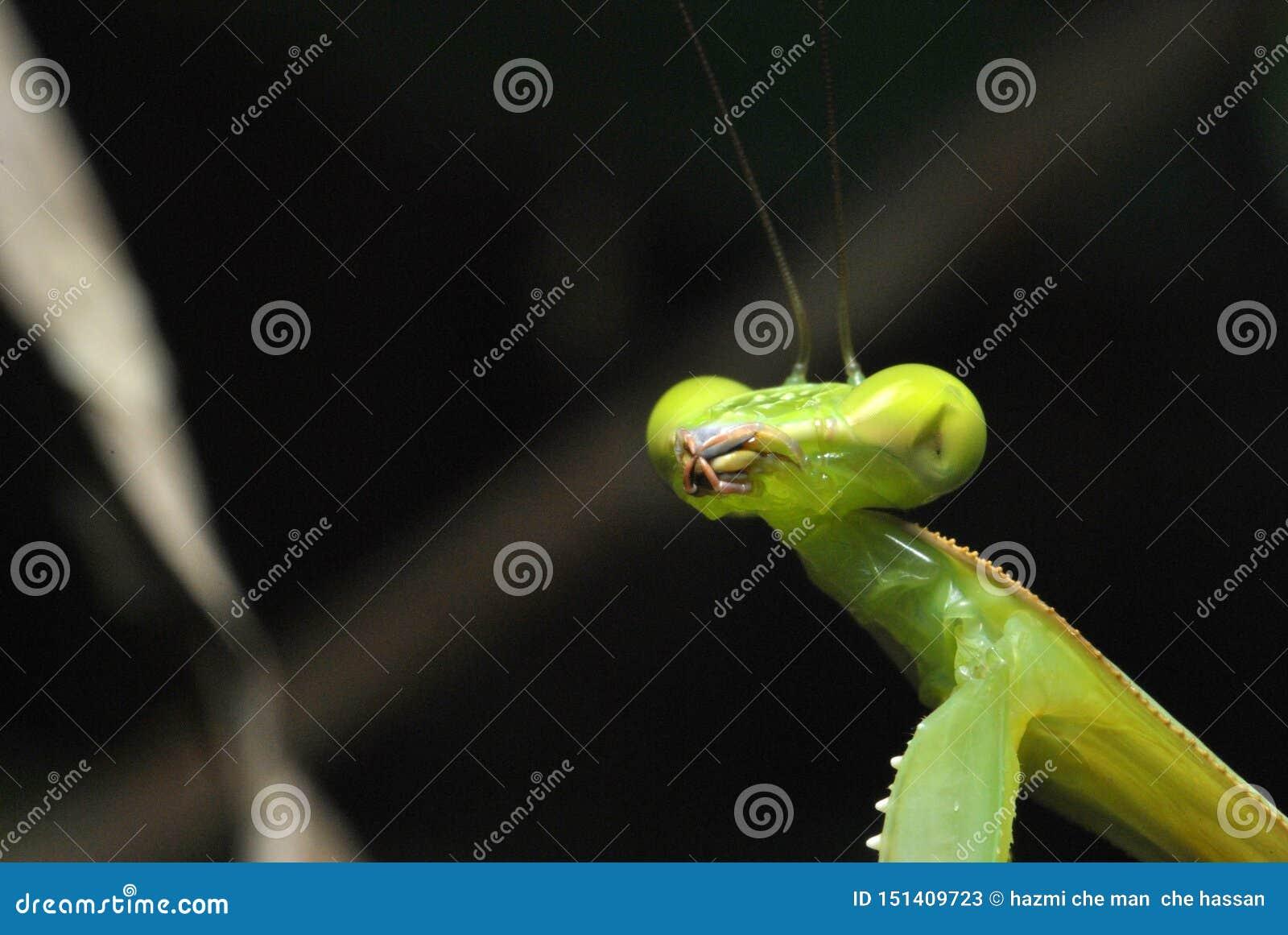绿色螳螂的接近的面孔