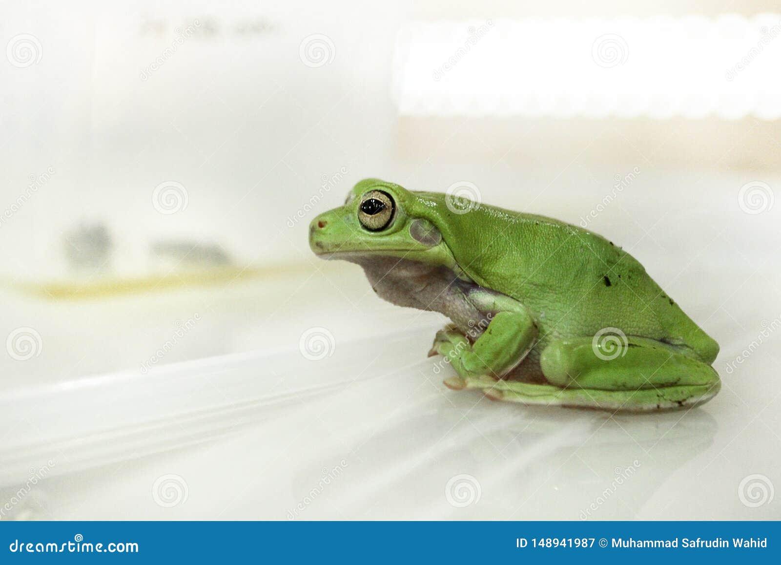 绿色雨蛙或矮胖的雨蛙