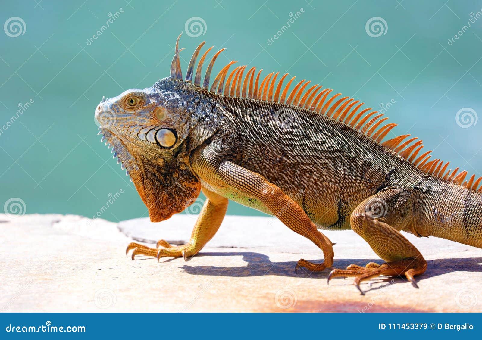 绿色鬣鳞蜥公美丽的多色动物,五颜六色的爬行动物在南佛罗里达