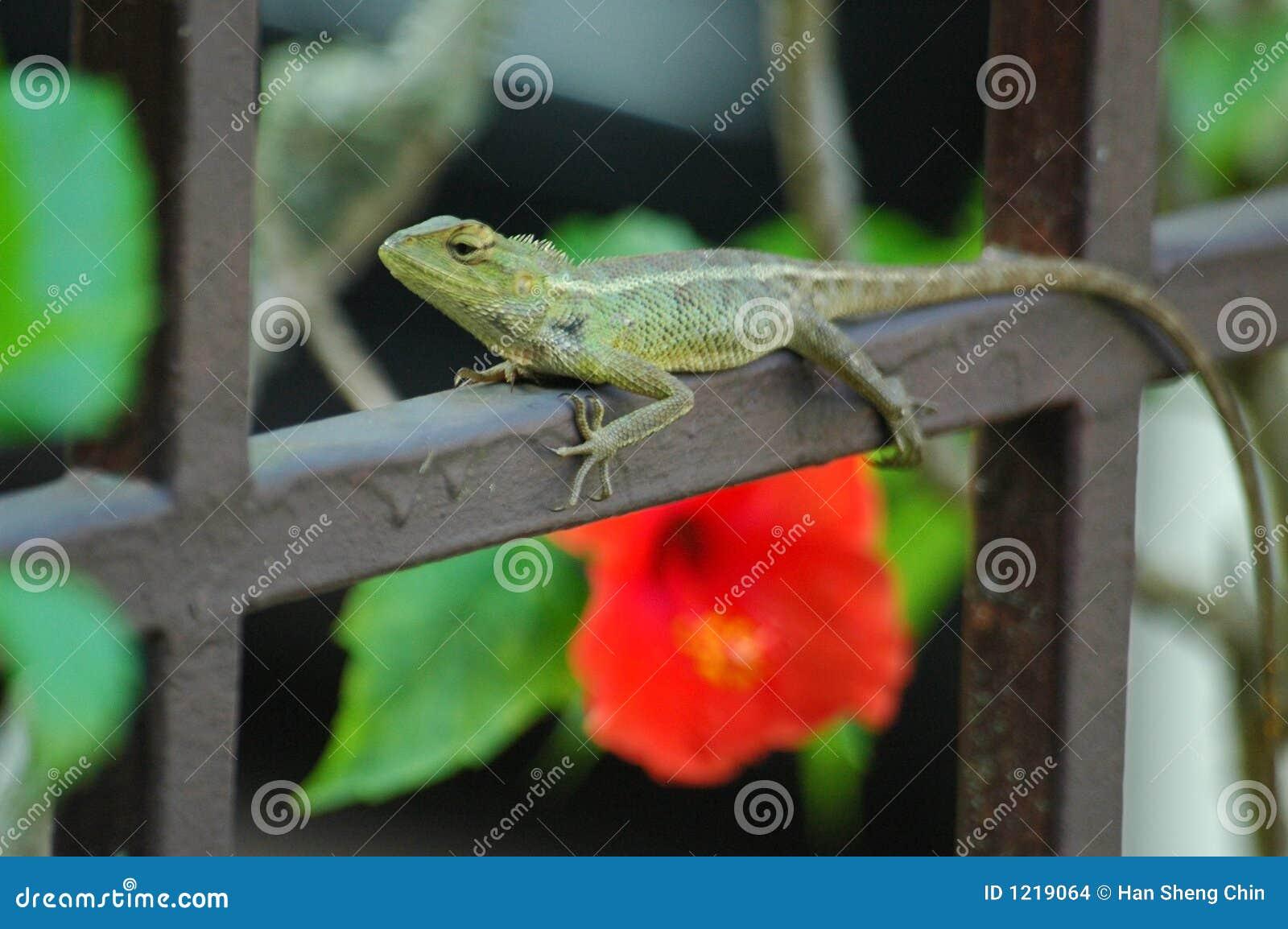 绿色鬣鳞蜥栏杆