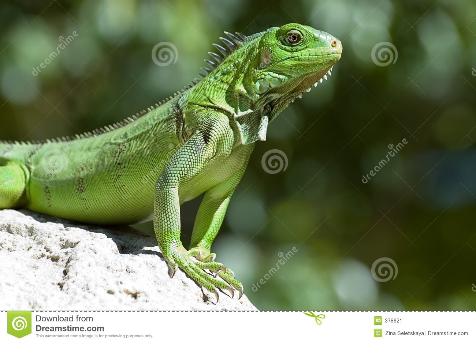 绿色鬣鳞蜥男