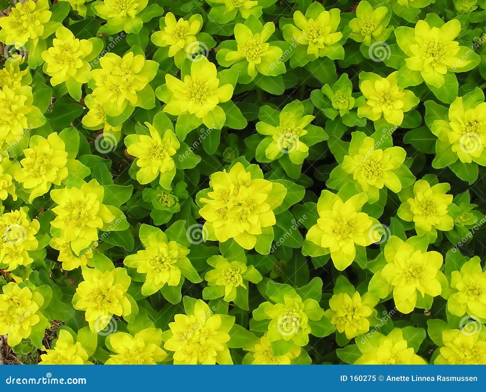 绿色spurge黄色