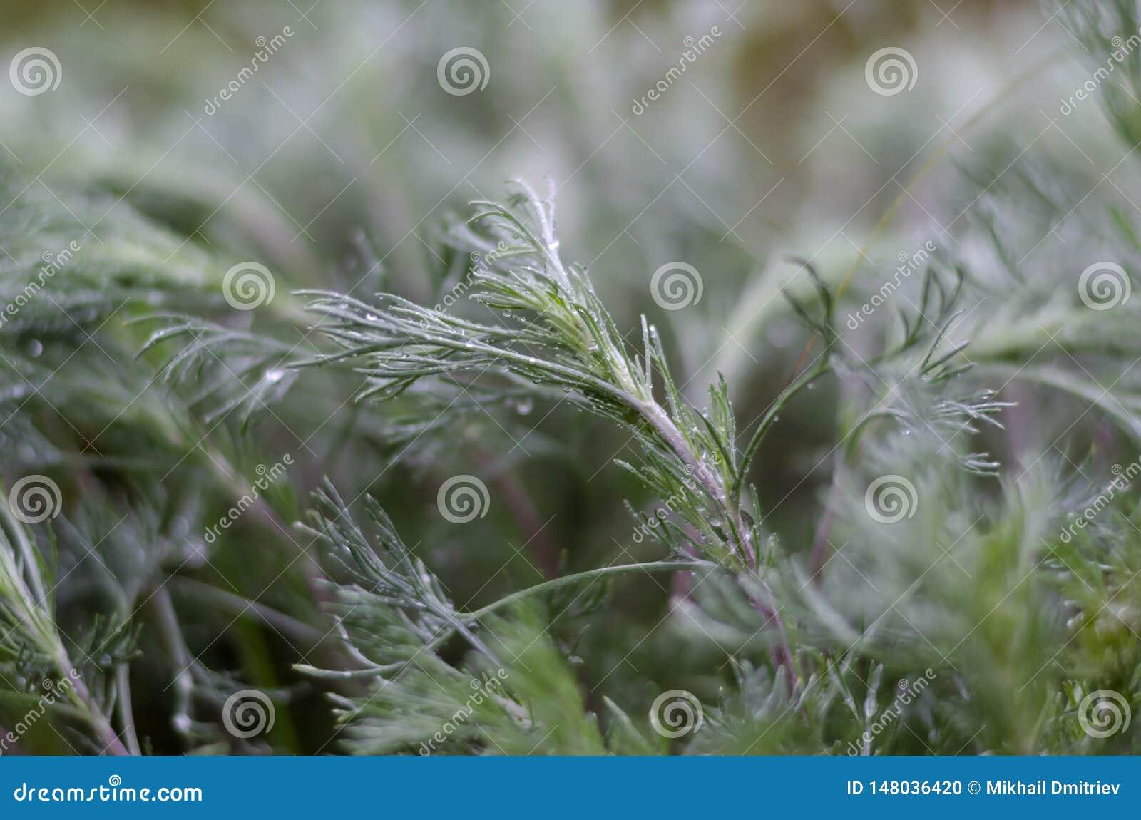 绿草特写镜头在雨以后夜  在叶子的水滴