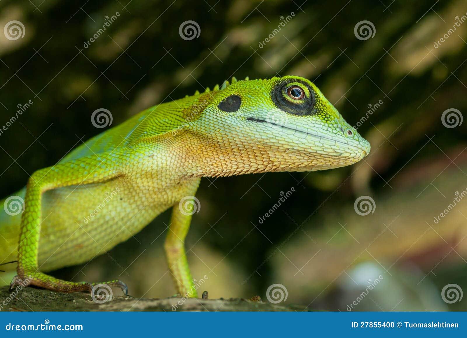 绿蜥蜴的特写镜头