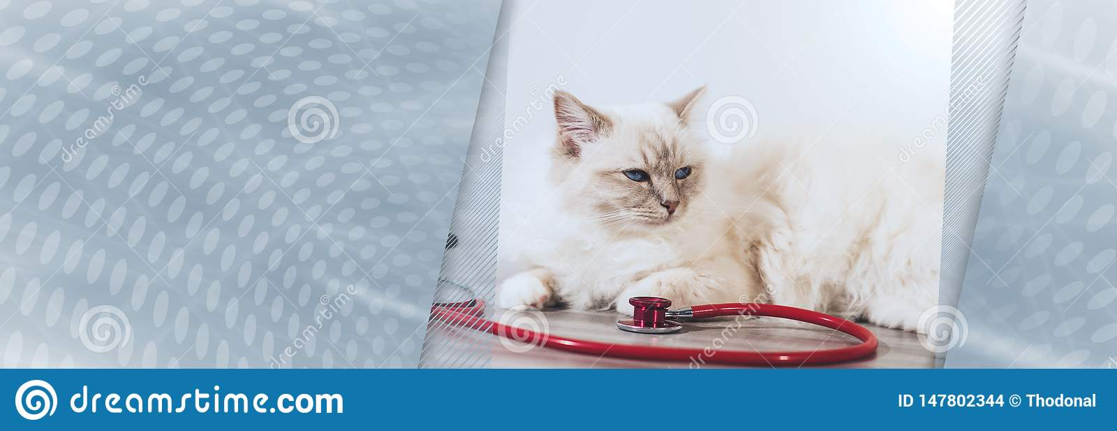 缅甸的美丽的神圣的猫有听诊器的 r