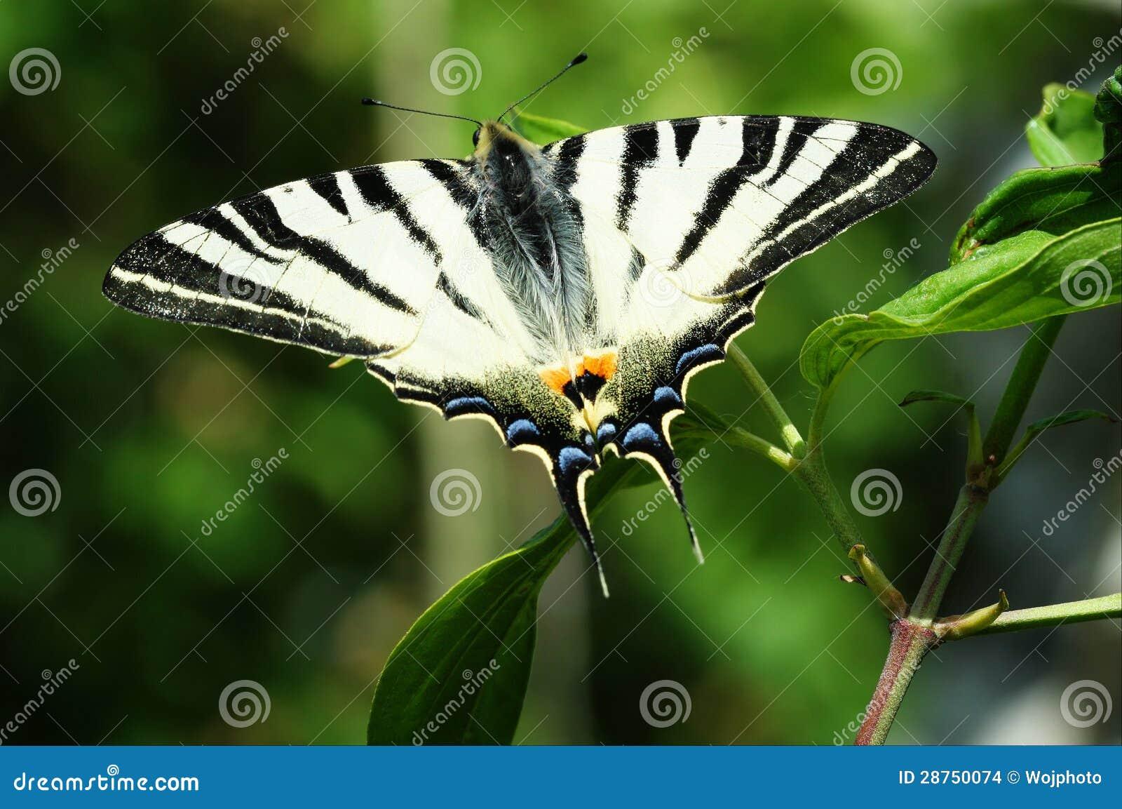 缺乏Swallowtail蝴蝶宏指令