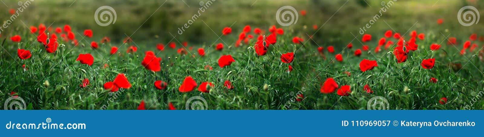 罂粟属rhoeas虞美人玉米玫瑰色领域鸦片富兰德鸦片