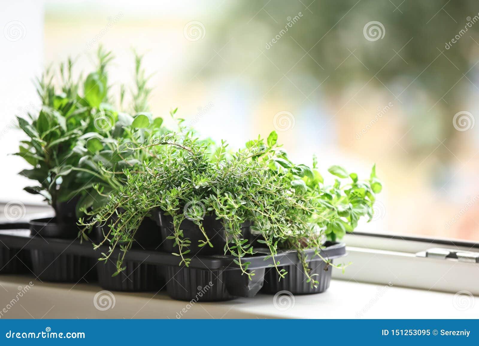 罐用在窗台的新鲜的芳香草本