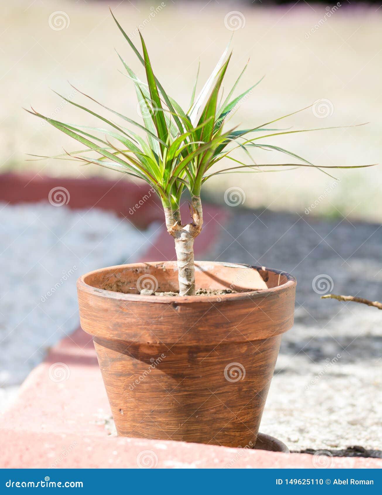 罐的绿色年幼植物