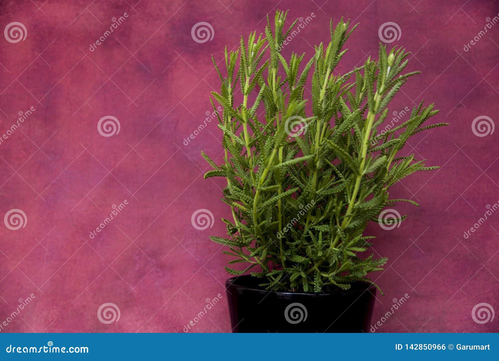 罐的绿色淡紫色植物