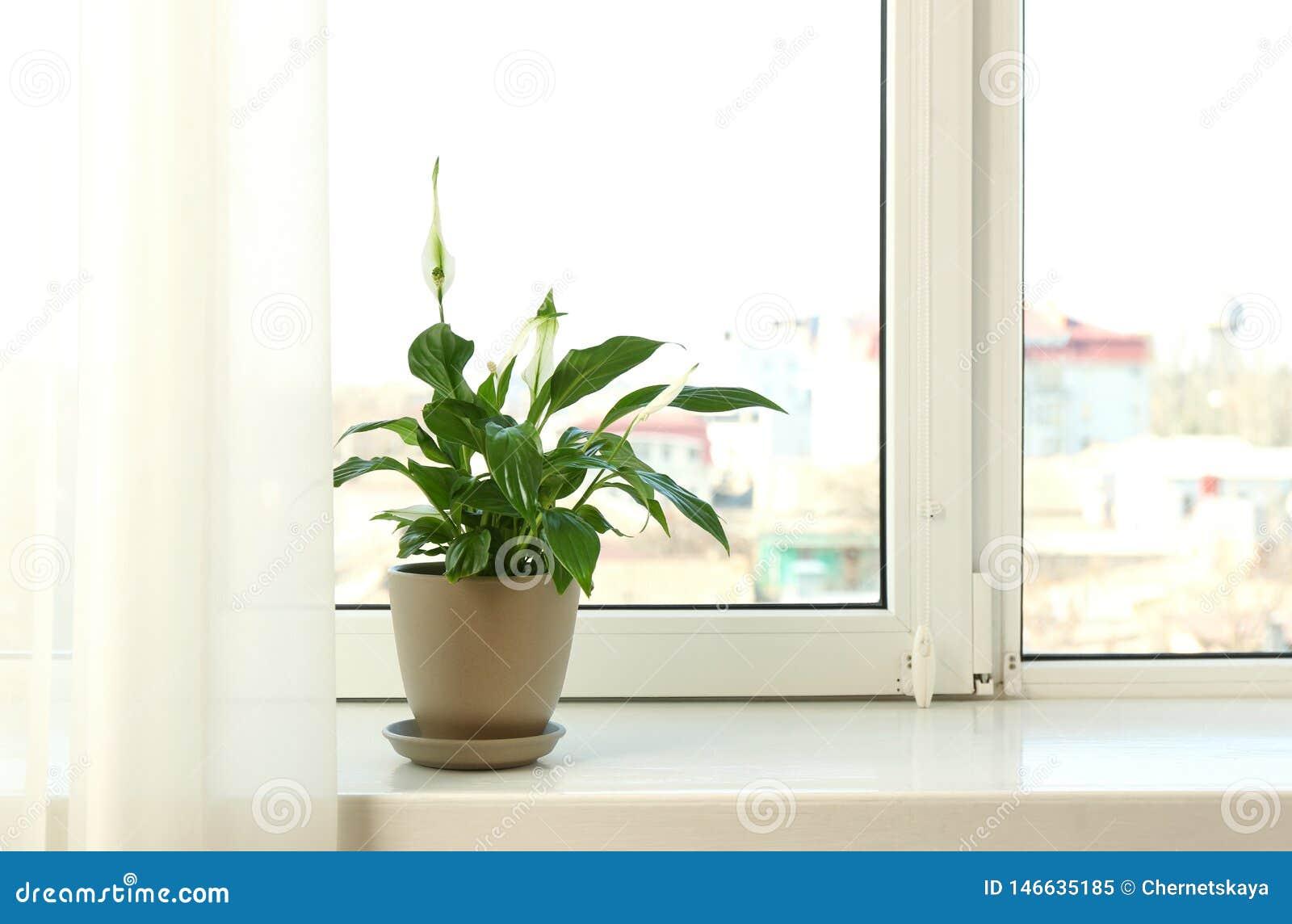 罐的美丽的和平百合植物在窗台在家