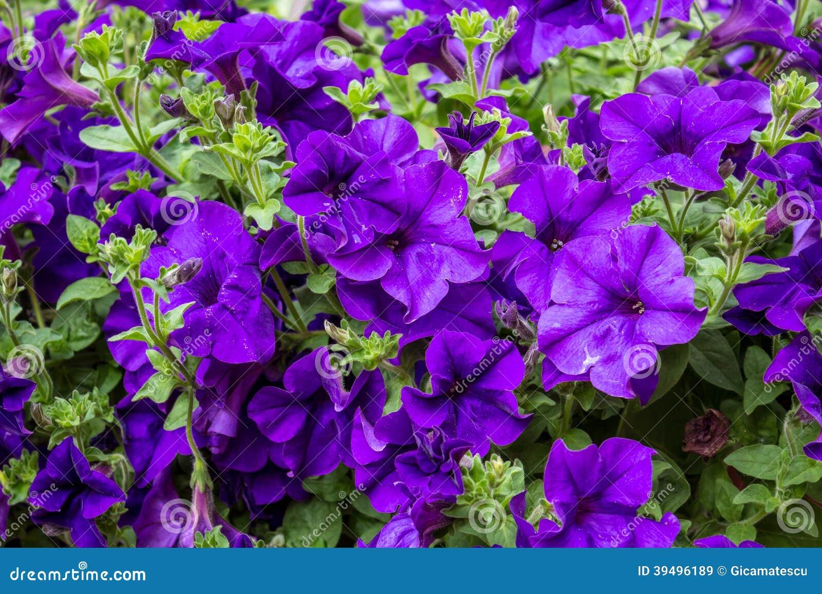 紫罗兰色喇叭花