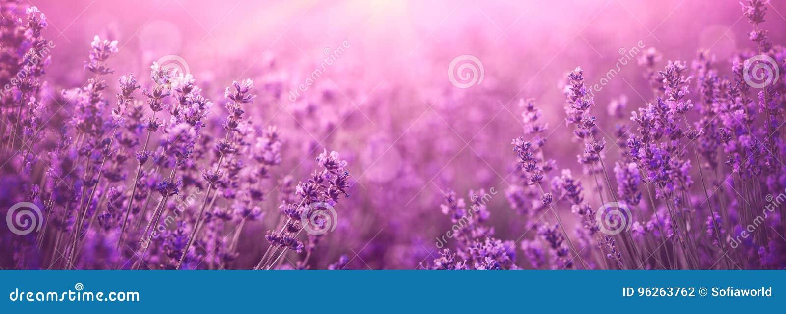 紫罗兰色淡紫色领域