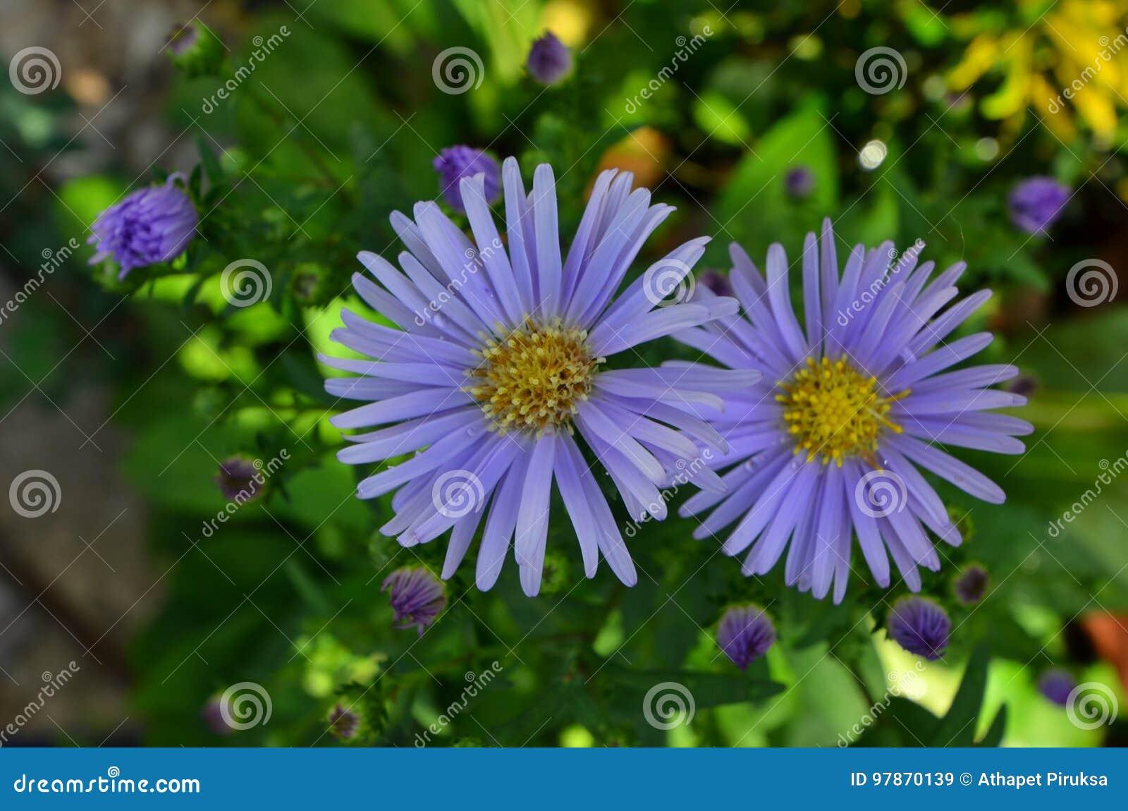 紫罗兰色雏菊花美好的夫妇
