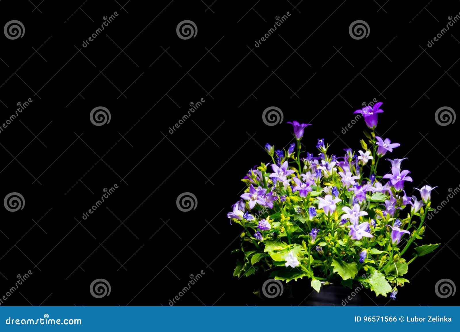 紫罗兰色风铃草有黑背景