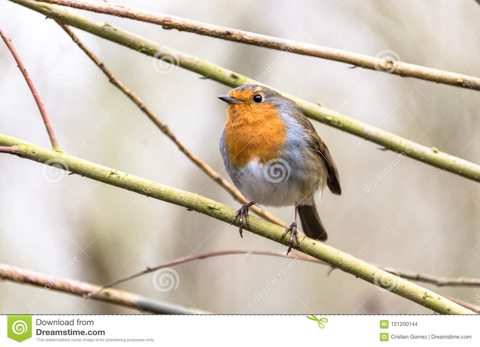 罗宾鸟在诺丁汉,英国