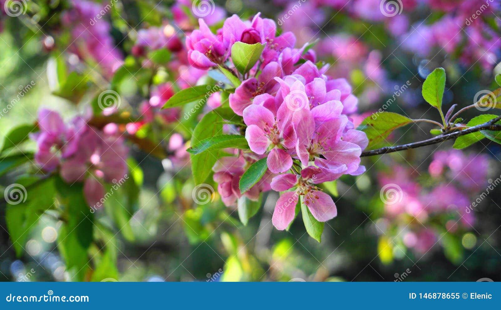 罗盘星座皇族与花的Crabapple树在早晨太阳关闭 r