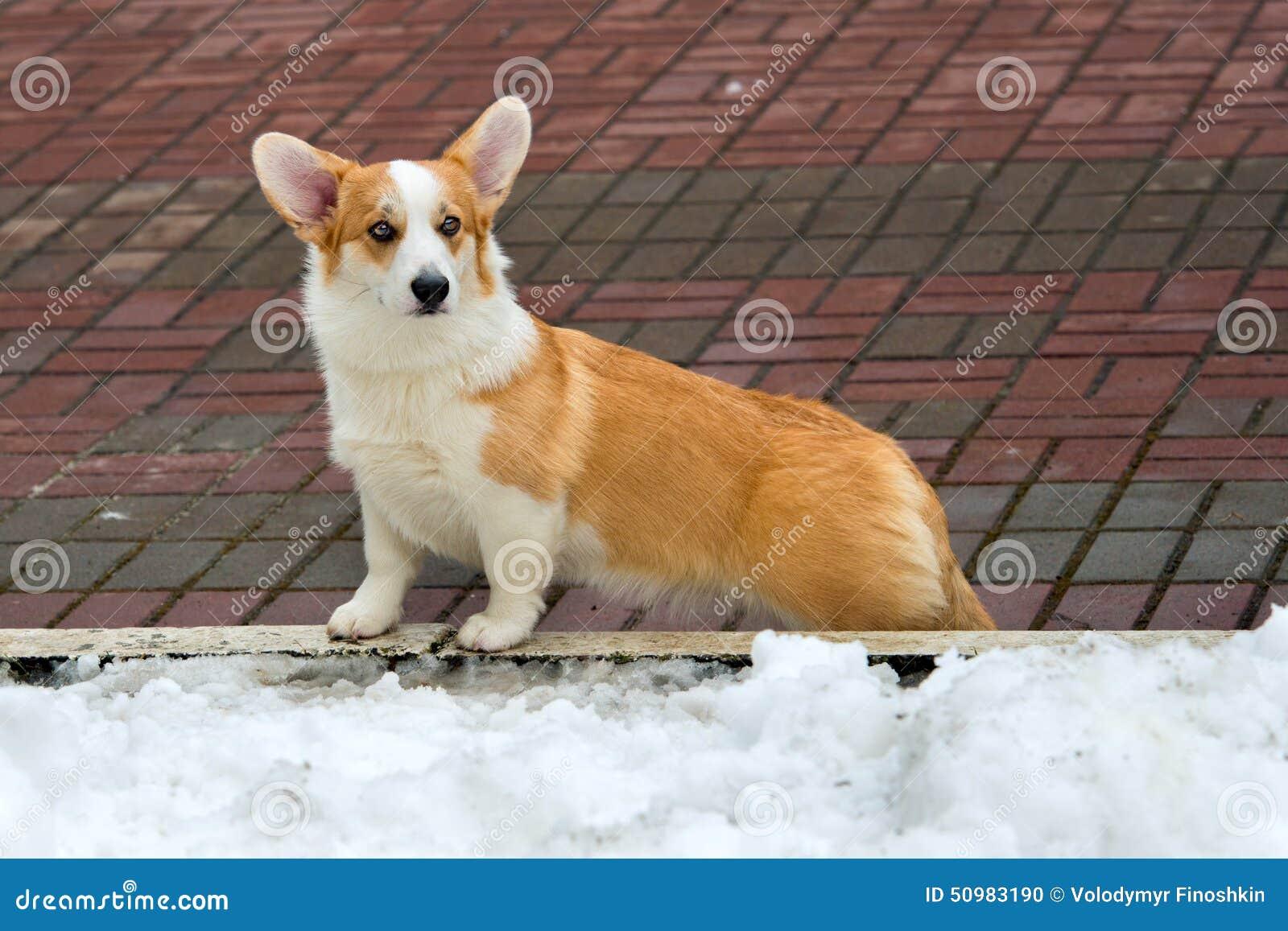 羊毛衫威尔士小狗和冬天